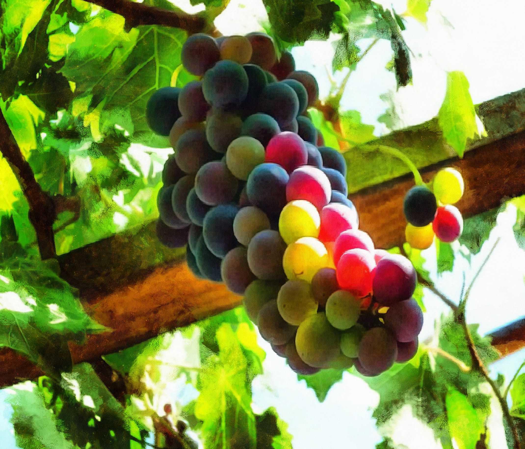<br>grapes, bunch of grapes, a gazebo,