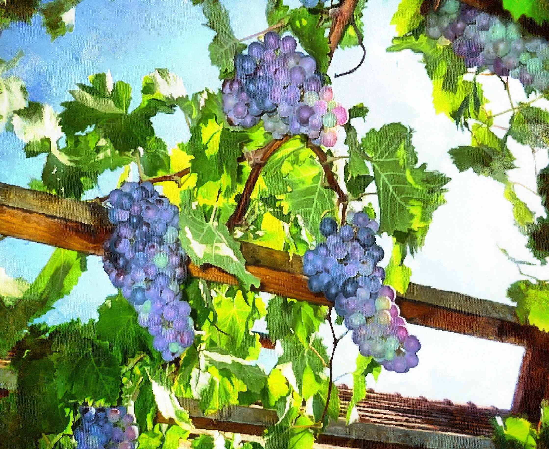 grape, grapes, arbor, blue grapes,