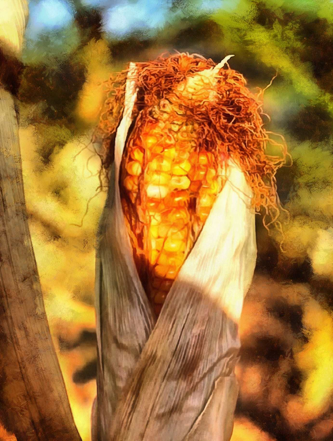 <br><br>Corn on the field, corn on the cob, corn cobs, corn seeds,