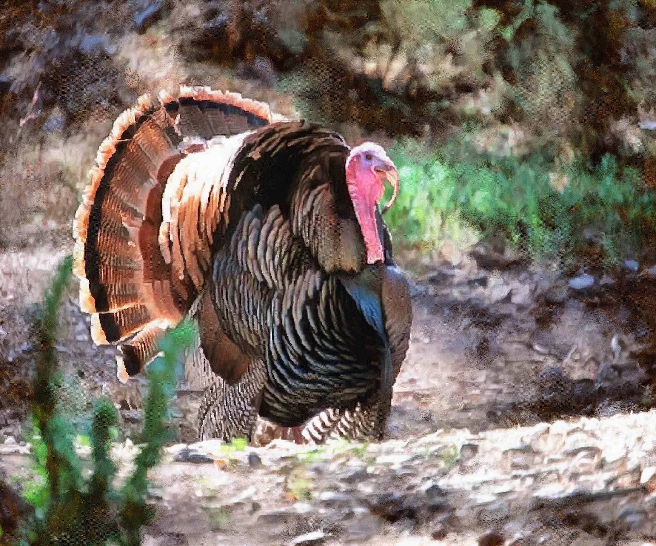 white turkey, live turkey, bird, holiday, thanksgiving, turkey, Thanksgiving Day,   - thanksgiving, stock free image, public domain photos, free stock photo, download public domain images.