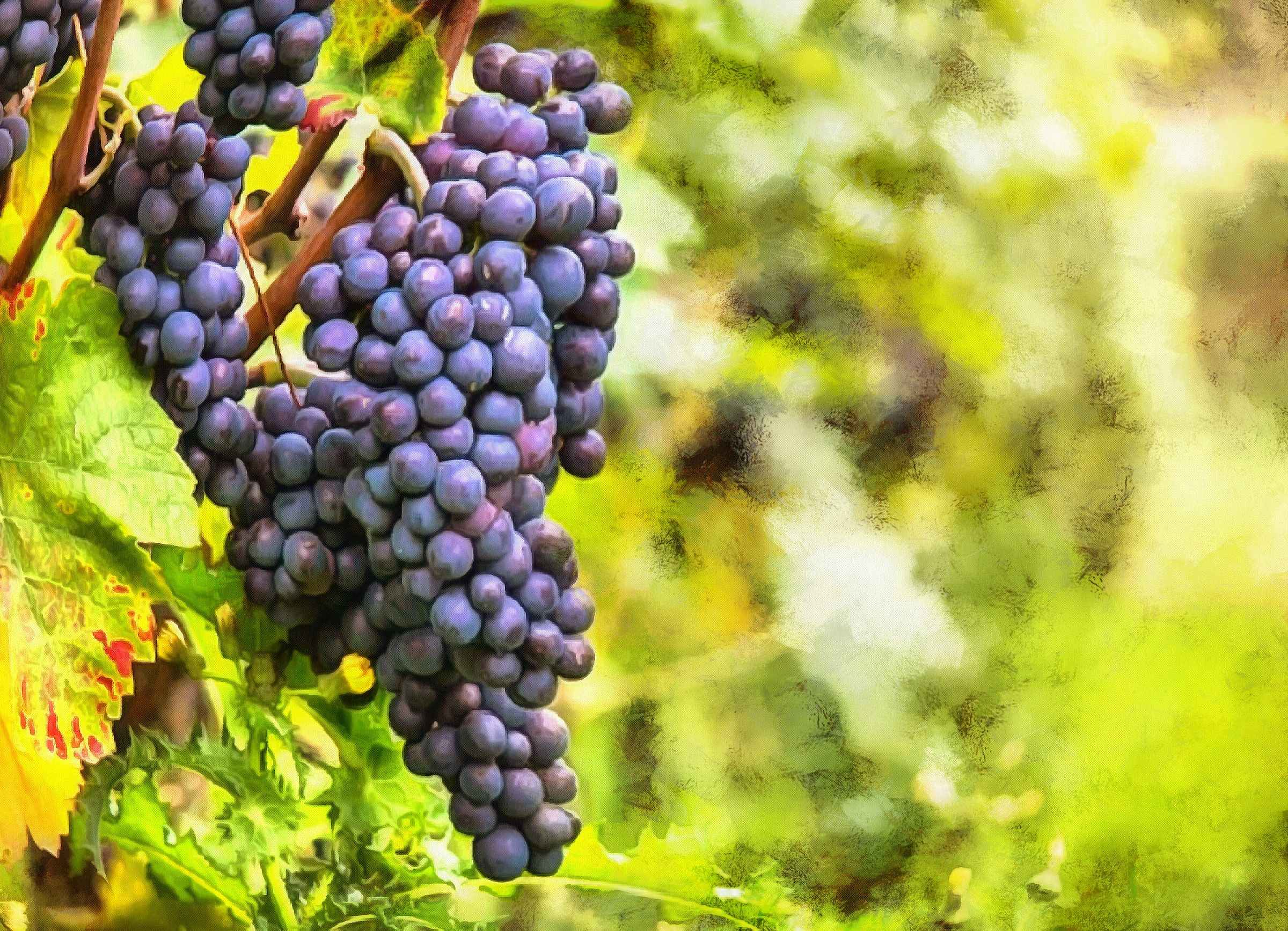 grape, grapes, large grapes, harvest, blue grapes,