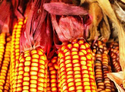 corn cobs of corn, sweet corn, cob,