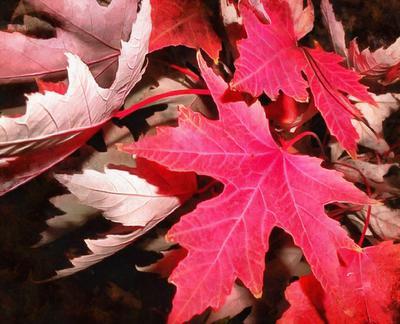 leaf, maple leaf, autumn, red leaf,