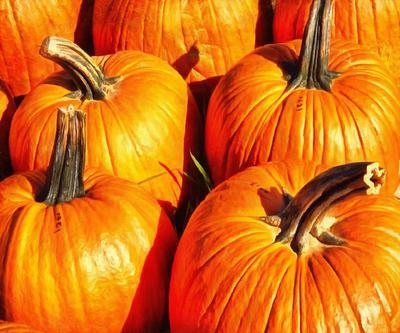 thanksgiving pumpkins,  ripe, crop, pumpkins,  pumpkin, yield, vegetables, holiday,  - thanksgiving, stock free image, public domain photos, free stock photo, download public domain images.