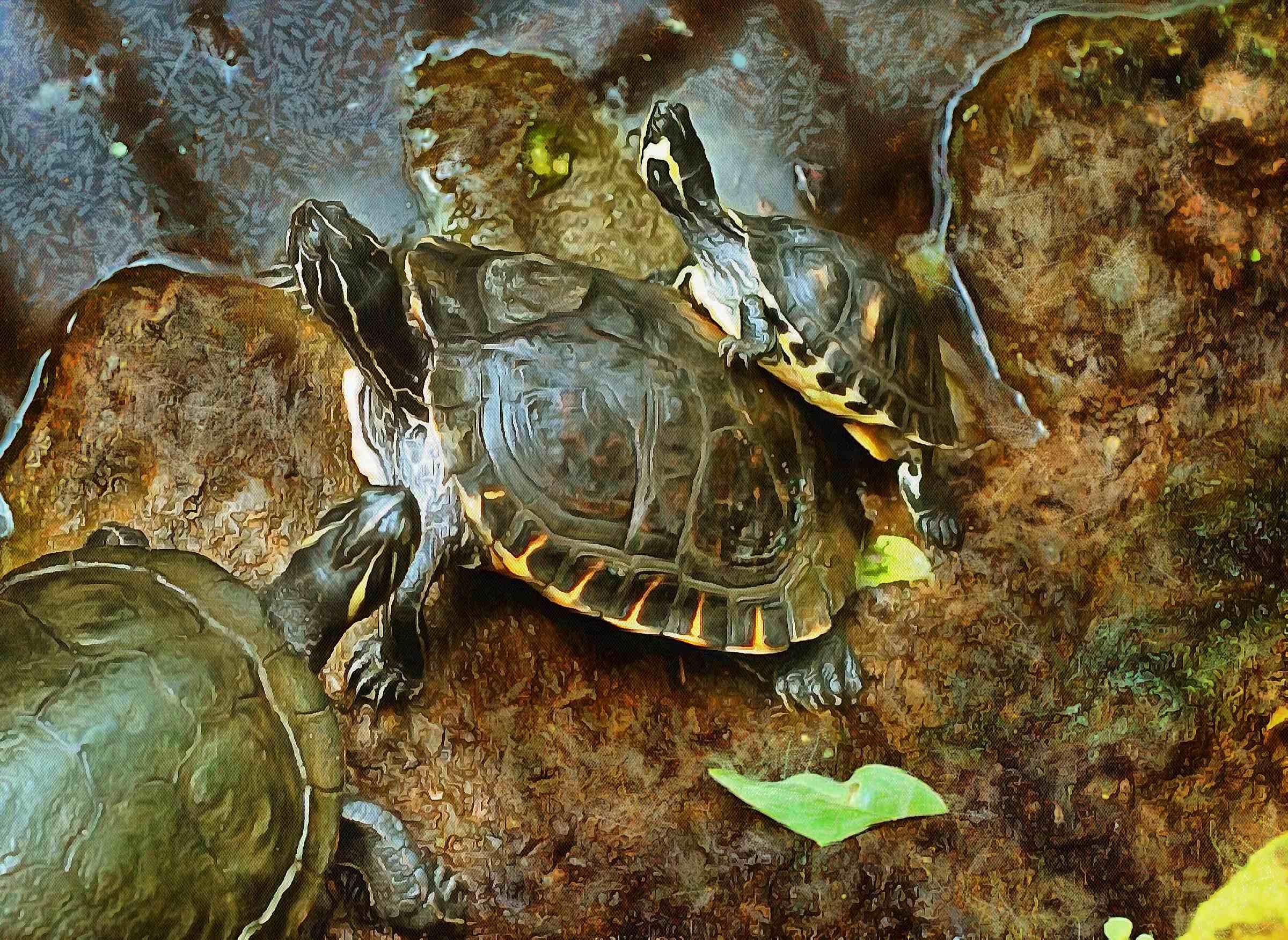 tortoise, turtle, turtle free, tortoise free, free image turtle, free image tortoise, public domain image!