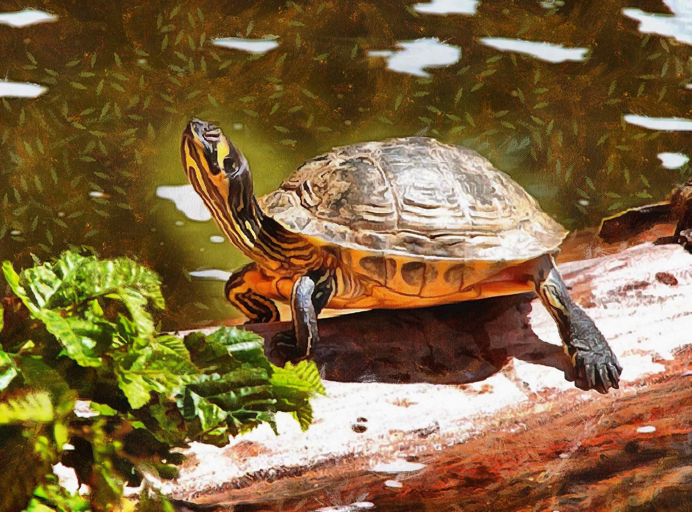 Turtle, Tortoise, Turtle free images, tortoise images, chelonian, leatherback, loggerhead, turtle, – Turtle free, Tortoise free , Turtle stock free images, Download free images turtles, turtle public domain images, tortoise public domain images!