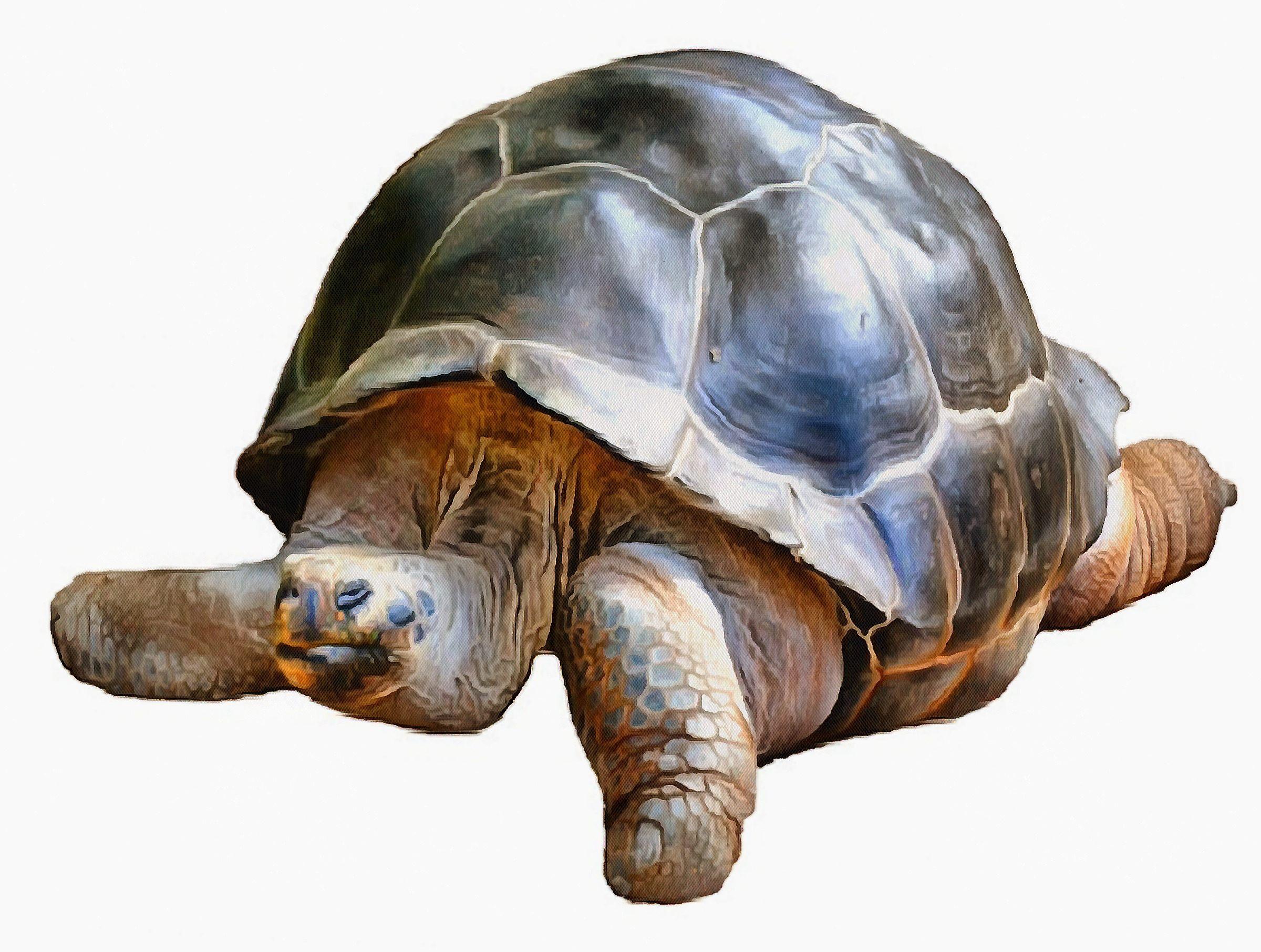 Turtle, Tortoise, Turtle free images, chelonian, leatherback, turtle, – Turtle free images, Tortoise free , Turtle stock free images, Download free images turtles, tortoise free public domain images, tortoise public domain images!