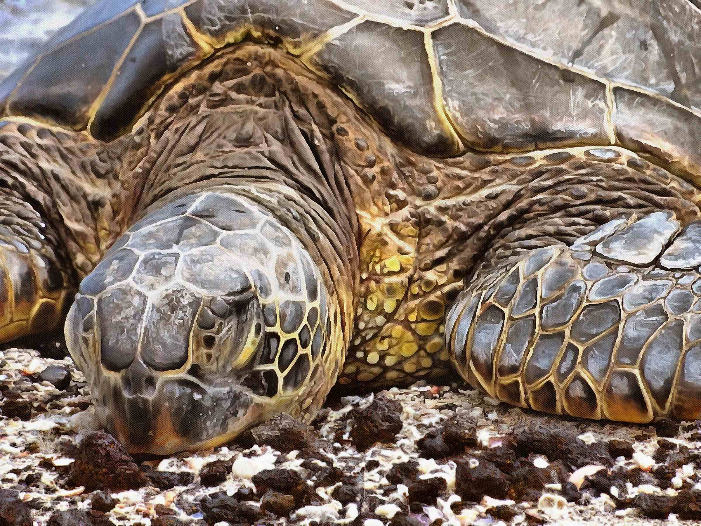 Turtle, Tortoise, Turtle free images, chelonian, leatherback, turtle, – Turtle free images, Tortoise free , Turtle stock free images, Download free images turtles, tortoise free public domain images, tortoise public domain images!
