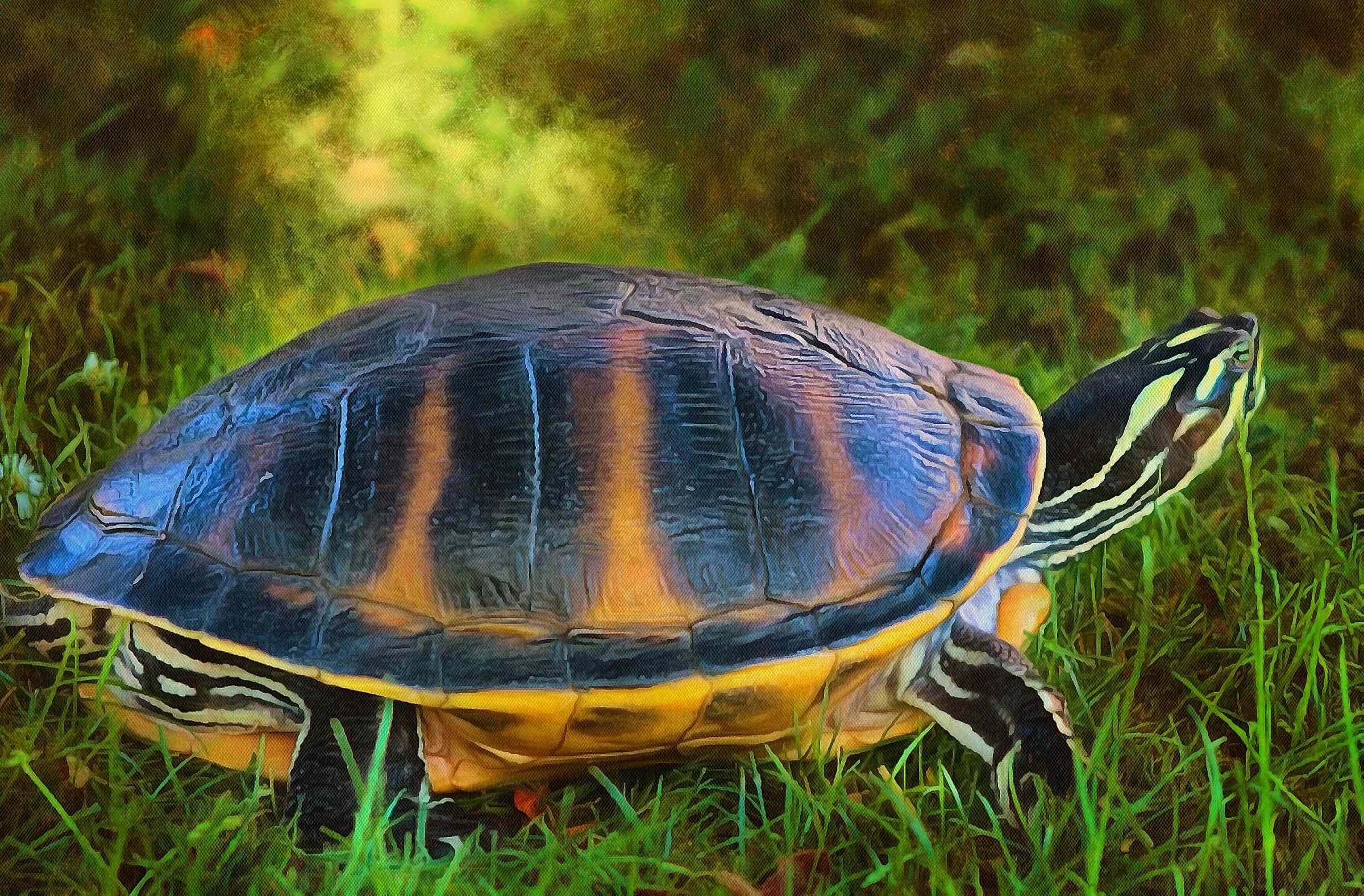 Turtle free images, Free Tortoise images, – free images turtles, tortoise public domain images, Turtle public domain images, Tortoise free!