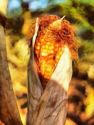 Corn on the field, corn on the cob, corn cobs, corn seeds,