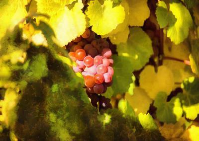 grape, grapes, harvest, red grapes,