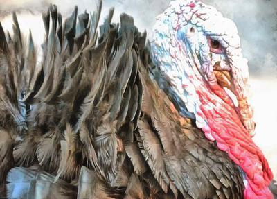 thanksgiving, turkey, live turkey, bird, holiday, Thanksgiving Day,
