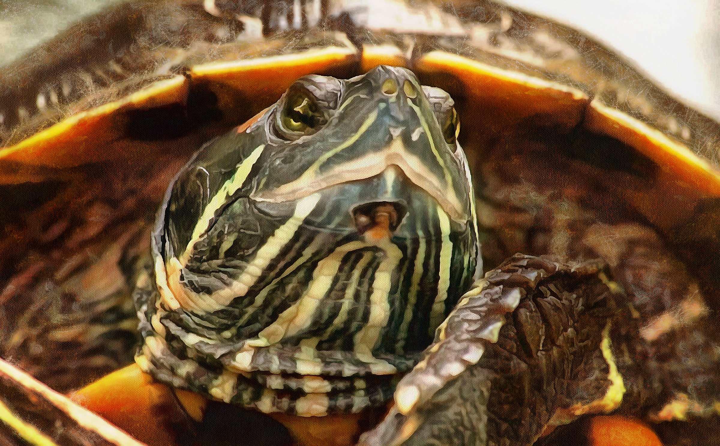 Turtle, Tortoise, Turtle free images,  – Tortoise free images, Tortoise free , Turtle stock free images, free images turtles, tortoise free , tortoise public domain images!