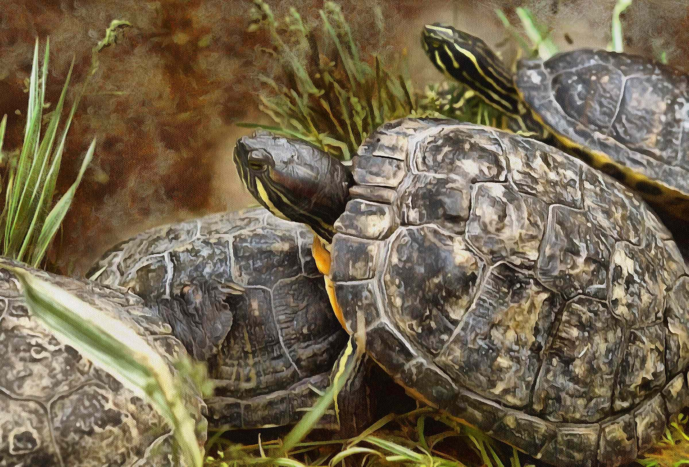 Free Tortoise images, Turtle free images,  – Turtle public domain images, Tortoise free , Turtle stock free images, free images turtles, tortoise public domain images!